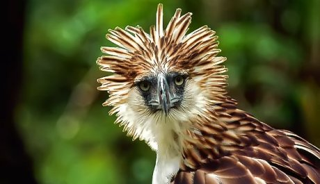 Philippines Eagle